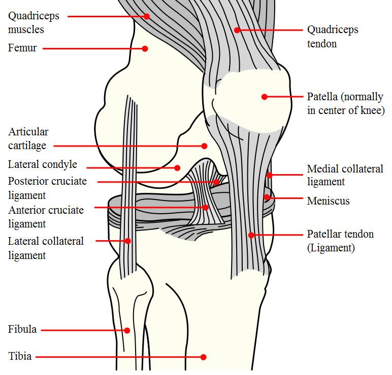 Knee Anatomy: passive structures - bones, ligaments, meniscus