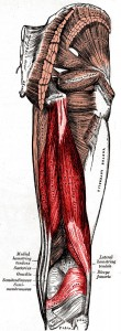 The Hamstring Muscle Group