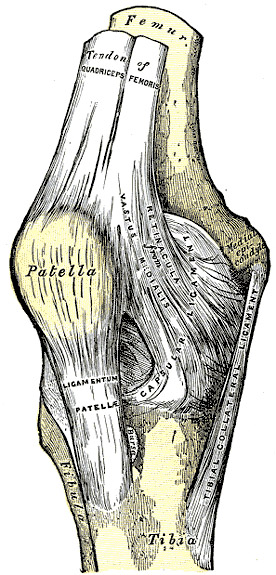The knee joint with patella and quadriceps tendon